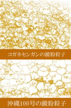 コガネセンガンの澱粉粒子